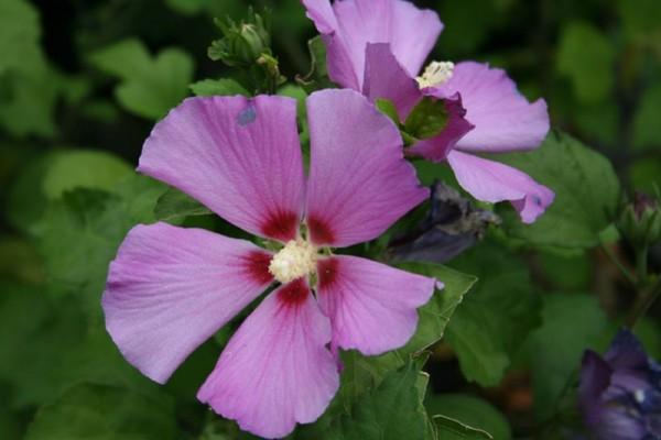Garteneibisch 'Russian Violet'-1
