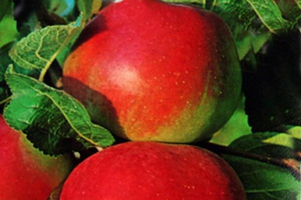 Apfel 'Elstar' mittel-1