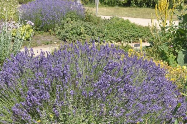 Tiefviolettblühender Lavendel-1