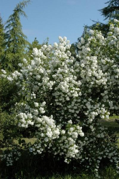 Gefüllter Gartenjasmin-1