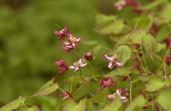 Garten-Elfenblume-1
