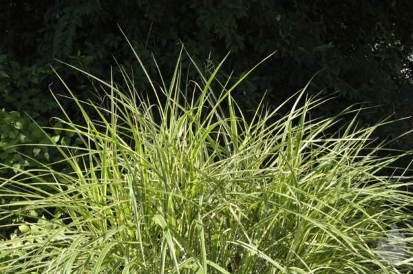 Weißgestreifter Garten-Chinaschilf-1