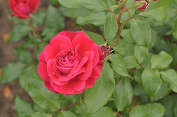 Beetrose 'Rouge Meilove' ® ADR-Rose-1