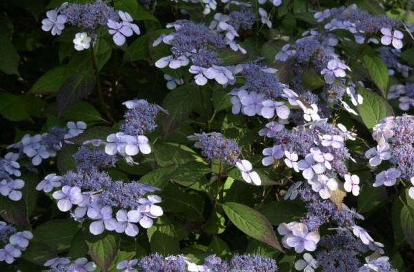 Kleinwüchs.Gartenhortensie 'Bluebird'-1