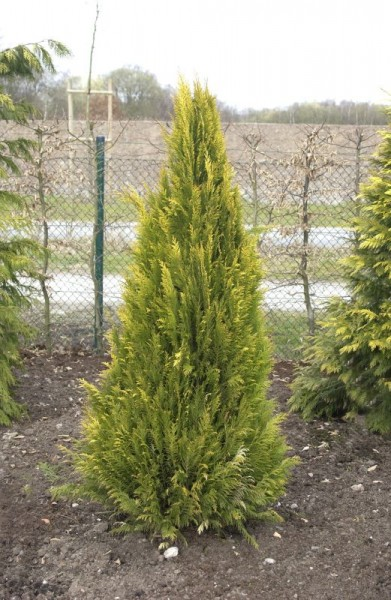 Gartenzypresse 'Romana'-1