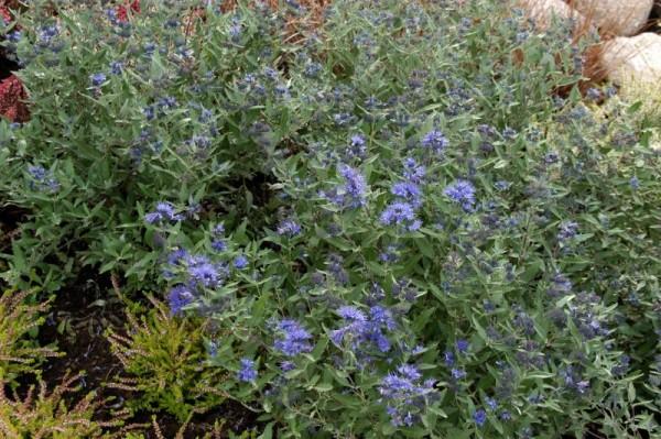 Bartblume 'Kew Blue'-1