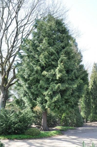 Thuja 'Excelsa' / Großer Lebensbaum-1