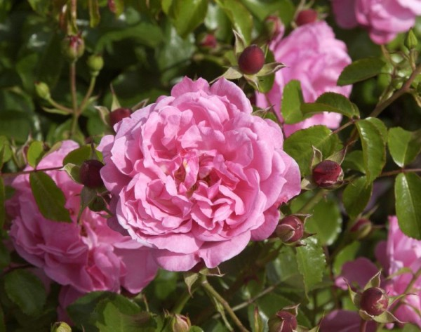 Bodendeckende Rose 'Medusa' ® ADR-Rose-1