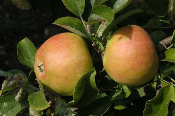 Apfel 'Pilot' -S- spät-1
