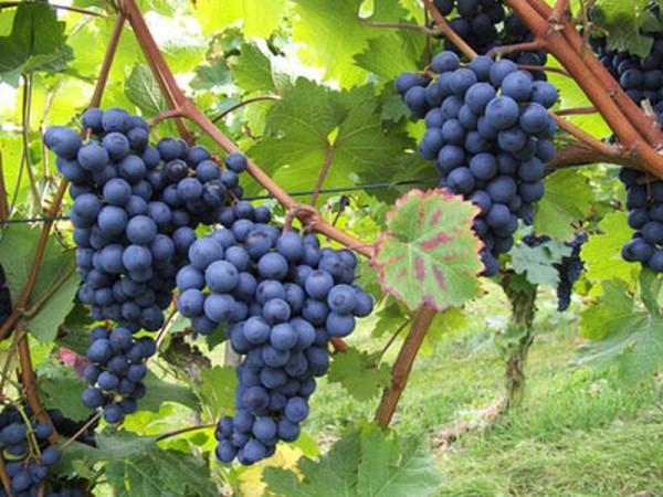 Weintraube 'Blauer Burgunder' -S--1