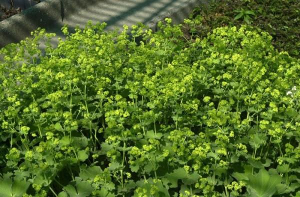 Großblättriger Garten-Frauenmantel-1