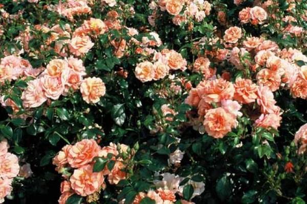 Beetrose 'Aprikola' ® ADR-Rose-1