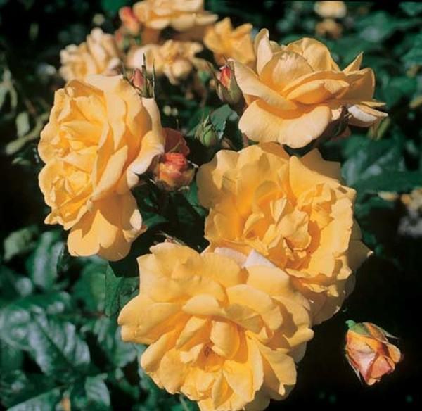 Strauchrose 'Postillion' ® ADR-Rose-1
