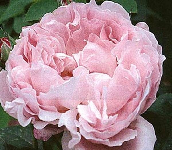 Englische Strauchrose 'Mary Rose' ®-1