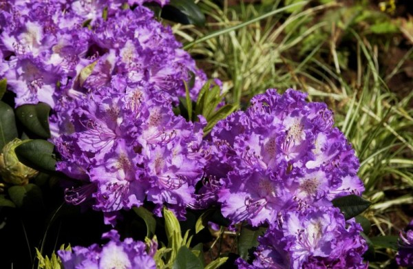 Rhododendron-Hybride 'Alfred'-1