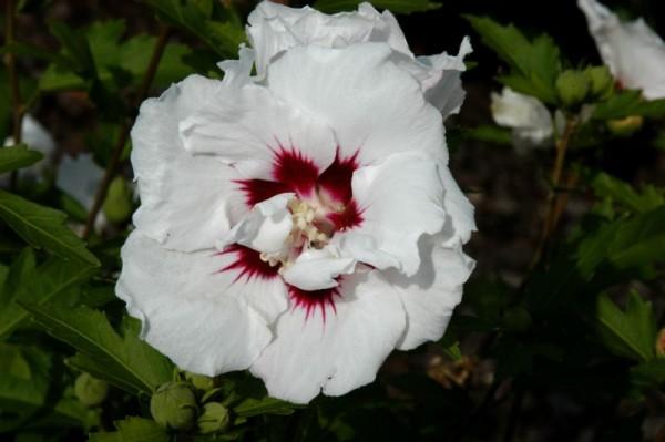 Garteneibisch 'Speciosus'-1