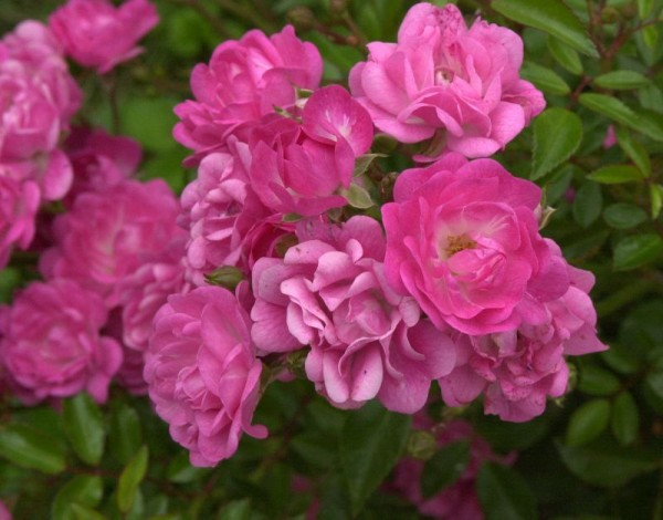 Bodendeckende Rose 'Lovely Fairy' ®-1