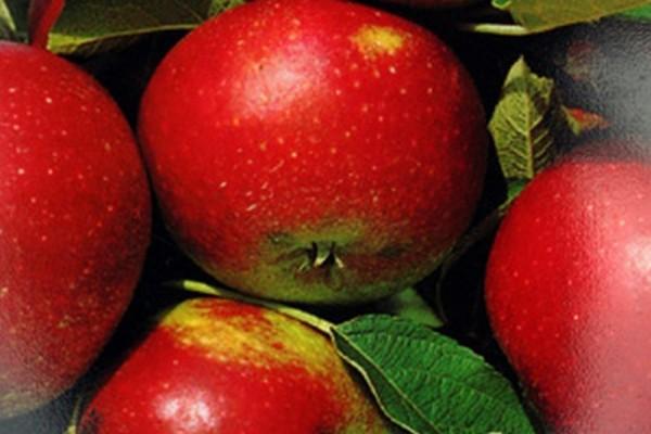 Apfel 'Ingrid Marie' mittel-1