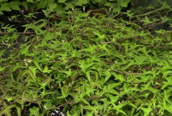 Felsen-Efeu 'Sagittifolia'-1