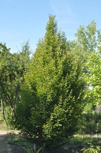 Hainbuche 'Fastigiata' / Pyramiden-Weißbuche (Hausbaum)-1