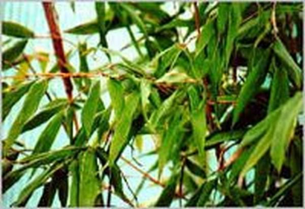 Gartenbambus 'Simba'-1
