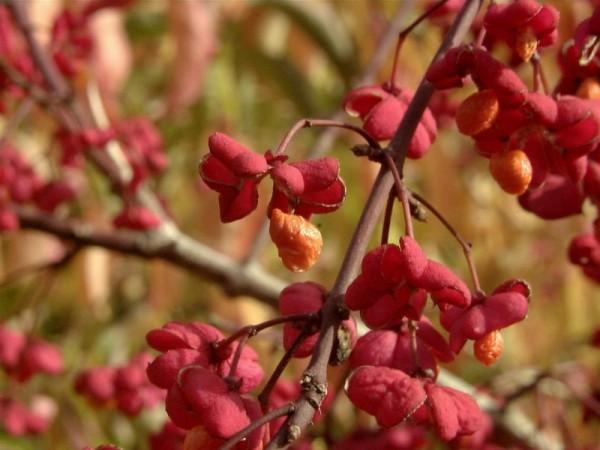 Pfaffenhütchen 'Red Cascade'-1