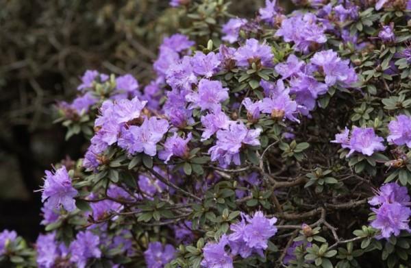Kleinblättr.Rhododendron 'Ramapo'-1