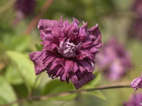 Italienische Waldreb.'Purpurea Pl.Elegans'-1