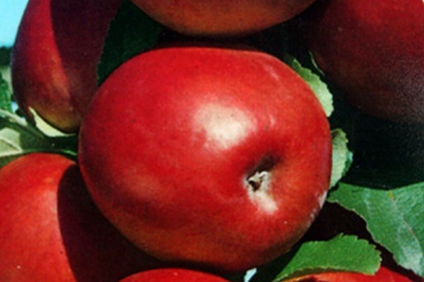 Apfel 'Roter Gravensteiner' mittel-1