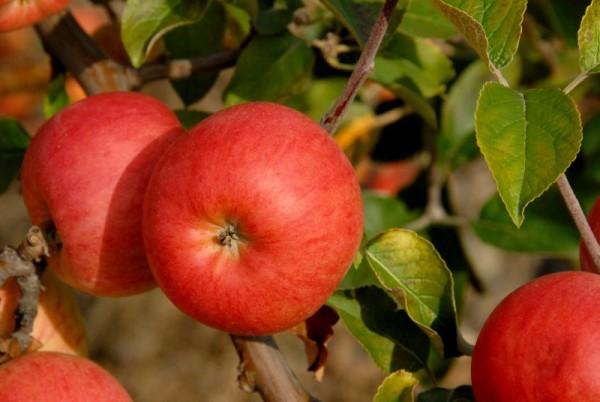 Apfel 'Roter Berlepsch' mittel-1