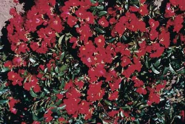 Bodendeckende Rose 'Sommerabend' ® ADR-Rose-1