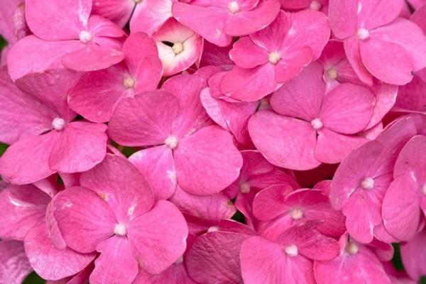Bauernhortensie 'Bouquet Rose'-1
