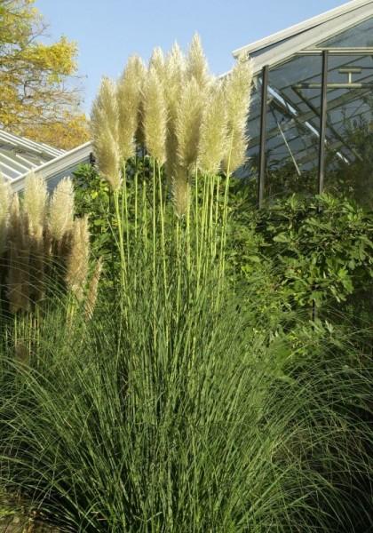 Kleines Garten-Pampasgras-1