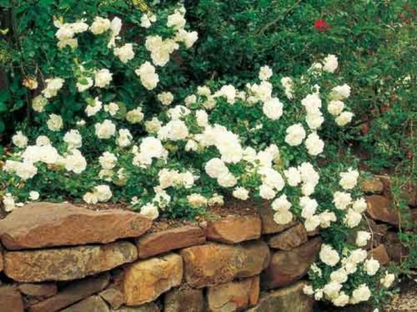 Bodendeckende Rose 'White Meidiland' ®-1