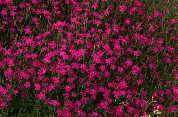 Garten-Heide-Nelke-1