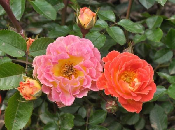 Bodendeckende Rose 'Bessy' ®-1