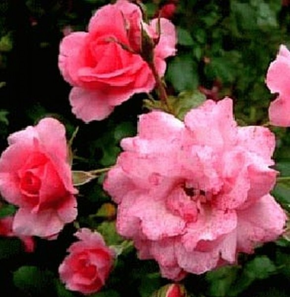 Bodendeckende Rose 'Mirato' ® ADR-Rose-1