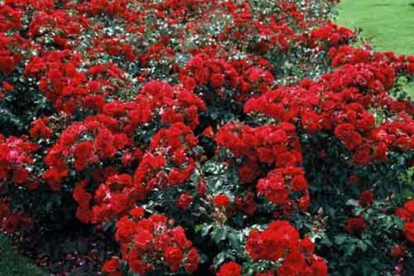 Beetrose 'Rotilia' ® ADR-Rose-1
