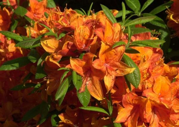 Sommergrüne Azalee 'Golden Eagle'-1