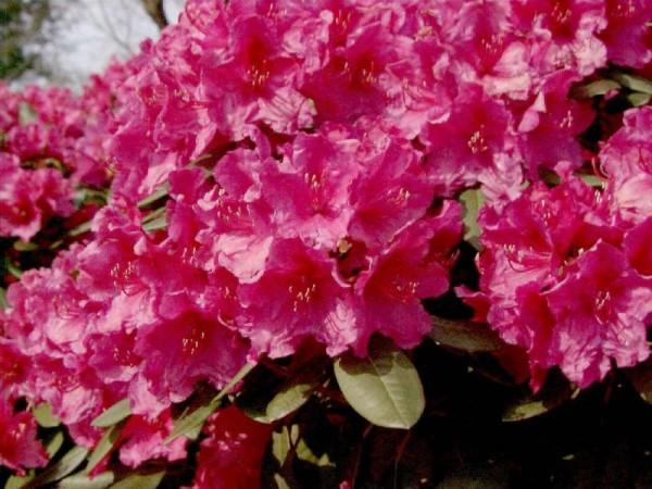 Rhododendron-Hybride 'Rubescens'-1