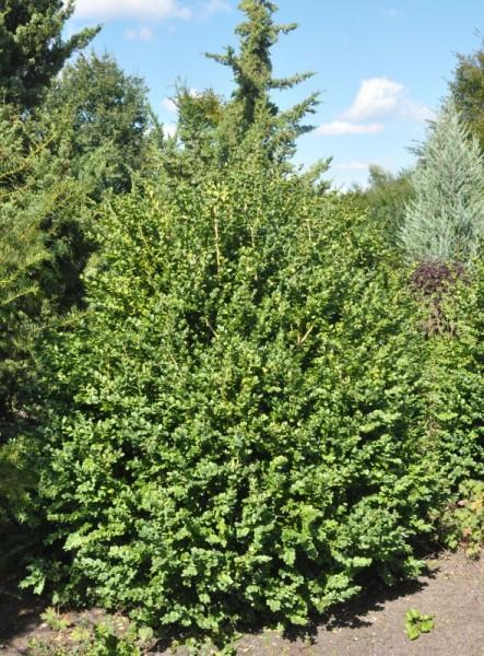 Buchsbaum 'Rotundifolia'-1