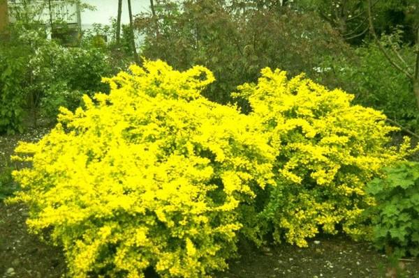 Gelbe Zwergberberitze-1