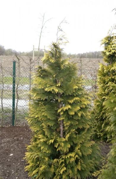 Gelbe Gartenzypresse 'Kelleriis Gold'-1