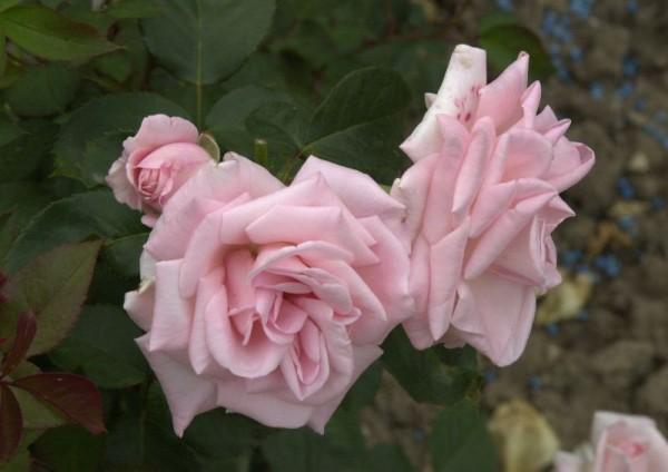 Edelrose 'Inspiration' ® ADR-Rose-1