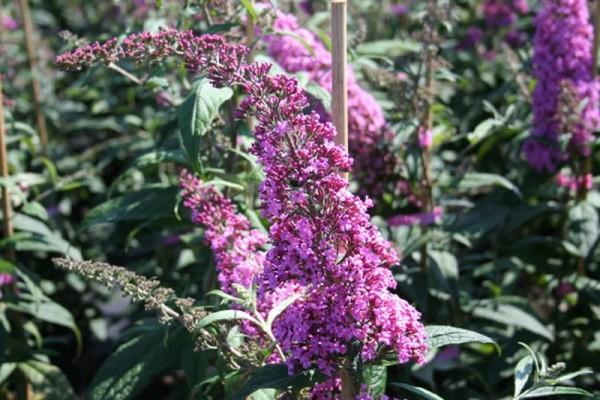 Sommerflieder / Schmetterlingsflieder 'Pink Delight'-1