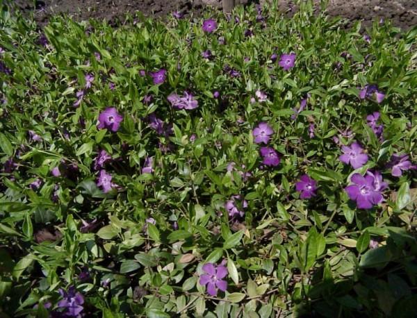Kleines Garten-Immergrün-1