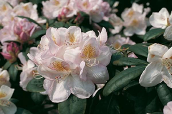 Rhododendron-Hybride 'Gomer Waterer'-1