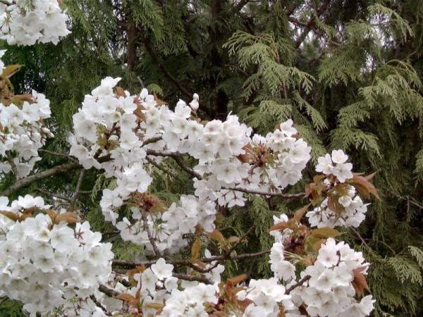 Weiße Zierkirsche-1