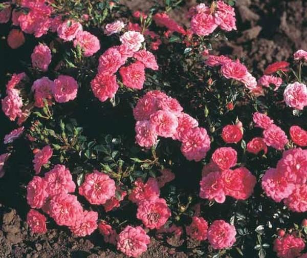 Bodendeckende Rose 'Knirps' ® ADR-Rose-1