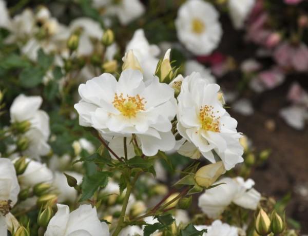 Bodendeckende Rose 'Diamant' ® ADR-Rose-1